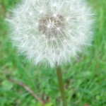 dandelion_fuzzy wishing flower