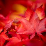 autumn red maple leaves_free pic